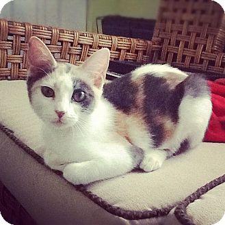 Domestic Shorthair Kitten for adoption in St. Louis, Missouri - Shelby