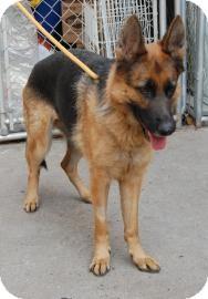 German Shepherd Dog Mix Dog for adoption in Brooklyn, New York - Tanya