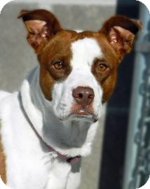 American Pit Bull Terrier Mix Dog for adoption in Cheyenne, Wyoming - Precious