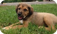 Collie/Hound (Unknown Type) Mix Puppy for adoption in Staunton, Virginia - Sebastian
