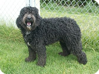 Labradoodle Dog for adoption in Liberty Center, Ohio - Buddy