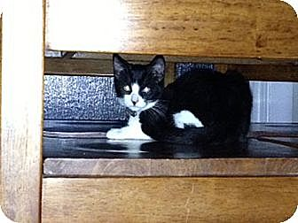 Domestic Shorthair Kitten for adoption in San Dimas, California - Shadow