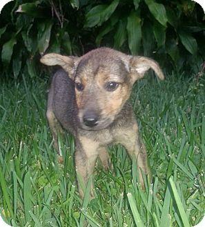 Australian Shepherd/Labrador Retriever Mix Puppy for adoption in Miami, Florida - Clove
