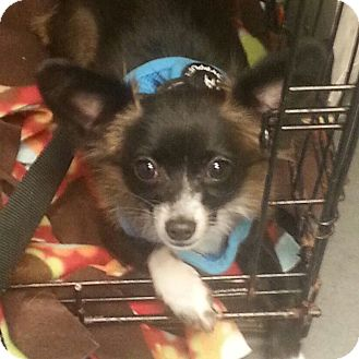 Chihuahua/Papillon Mix Puppy for adoption in Romeoville, Illinois - Tiny Tim