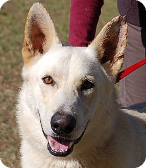 German Shepherd Dog Dog for adoption in Preston, Connecticut - Mitchell