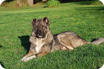 Mastiff Dog for adoption in Vancouver, Washington - Zeva
