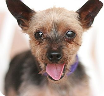 Yorkie, Yorkshire Terrier Dog for adoption in Canoga Park, California - Monte