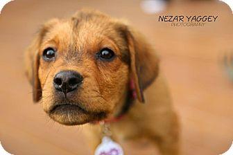 Shepherd (Unknown Type)/Rottweiler Mix Puppy for adoption in Edmonton, Alberta - Rogan