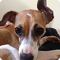 Adopt A Pet :: Penny - OC - Costa Mesa, CA