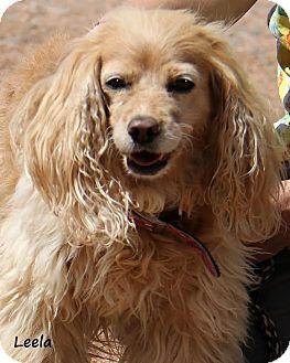 Cocker Spaniel Mix Dog for adoption in Divide, Colorado - Leela