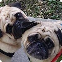 Adopt A Pet :: Thunder - Huntingdon Valley, PA