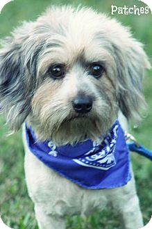 Shih Tzu/Yorkie, Yorkshire Terrier Mix Dog for adoption in Cranford, New Jersey - Patches