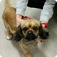 Adopt A Pet :: Dutch - Phoenix, AZ
