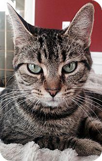 Domestic Shorthair Cat for adoption in Pierrefonds, Quebec - Ellie