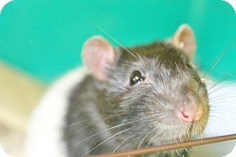 Rat for adoption in Benbrook, Texas - Gordo