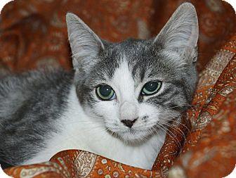 Domestic Shorthair Kitten for adoption in Berlin, Connecticut - Bonnie