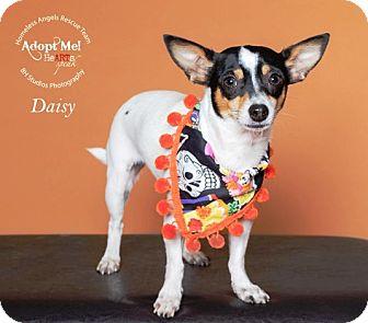 Rat Terrier Dog for adoption in Houston, Texas - Daisy