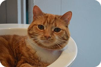 Domestic Shorthair Cat for adoption in Monroe, Michigan - Nala