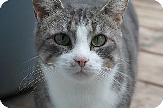 Domestic Shorthair Cat for adoption in Cambridge, Ontario - Katie