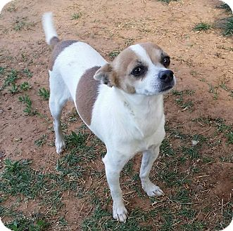 Chihuahua Mix Dog for adoption in Snyder, Texas - Dottie