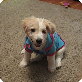Great Pyrenees Puppy for adoption in Lanoka Harbor, New Jersey - BUDDY