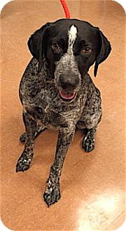 German Shorthaired Pointer Dog for adoption in Rapid City, South Dakota - Cruiser