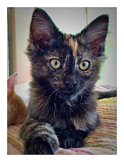 Domestic Mediumhair Kitten for adoption in Redding, California - BroomHilda