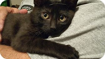 Domestic Mediumhair Kitten for adoption in Villa Hills, Kentucky - Bosco