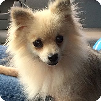 Pomeranian Mix Dog for adoption in Mt. Prospect, Illinois - Mattie