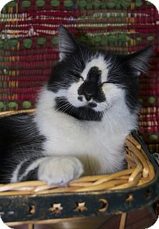 Domestic Longhair Cat for adoption in Bishopville, South Carolina - Nona