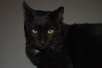 Domestic Shorthair Cat for adoption in Lafayette, New Jersey - Quixote