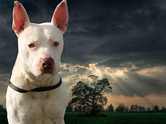 Pit Bull Terrier Dog for adoption in Fairfield, California - KEANU