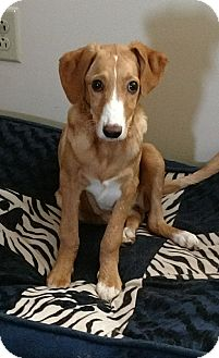 Beagle/Labrador Retriever Mix Puppy for adoption in Powell, Ohio - Angel