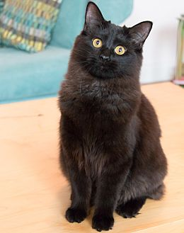 Domestic Mediumhair Cat for adoption in Chicago, Illinois - Creek