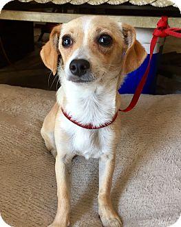 Dachshund/Chihuahua Mix Puppy for adoption in Santa Ana, California - Harper