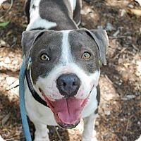Adopt A Pet :: Dollar - New Braunfels, TX