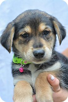 Terrier (Unknown Type, Small) Puppy for adoption in Danbury, Connecticut - Kupcake