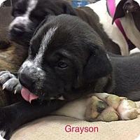 Adopt A Pet :: GRAYSON - Hampton, VA