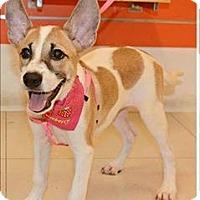 Adopt A Pet :: Femia - Taiwan Pup - Encino, CA