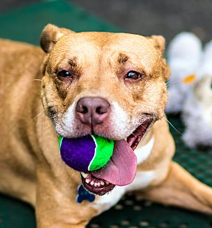 Pit Bull Terrier Mix Dog for adoption in Port Washington, New York - Jacey