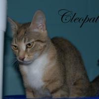 Adopt A Pet :: Cleopatra - Middleburg, FL