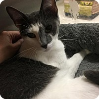 Domestic Shorthair Cat for adoption in Capshaw, Alabama - Summer