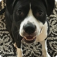 Adopt A Pet :: Zoey Luv - Scottsdale, AZ