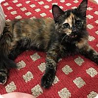 Adopt A Pet :: Tia - Prescott, AZ