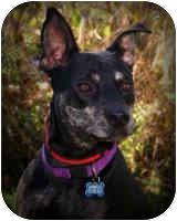 Australian Cattle Dog/Australian Cattle Dog Mix Dog for adoption in Livonia, Michigan - Cory