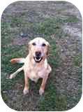 Golden Retriever/Labrador Retriever Mix Dog for adoption in Windham, New Hampshire - Bo