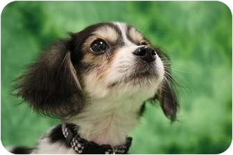 Spaniel (Unknown Type)/Cavalier King Charles Spaniel Mix Puppy for adoption in Broomfield, Colorado - Paris