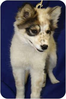 Australian Shepherd/Husky Mix Puppy for adoption in Broomfield, Colorado - Song