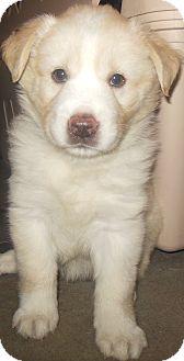 Golden Retriever/Labrador Retriever Mix Puppy for adoption in Richmond, Virginia - Ellie(Daisy Litter)