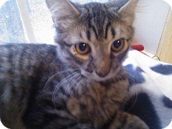 Domestic Shorthair Kitten for adoption in East Stroudsburg, Pennsylvania - Cali II